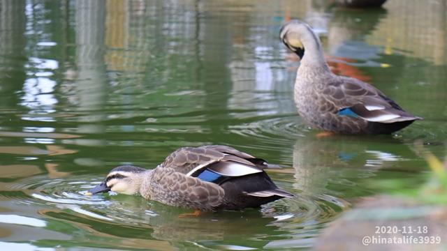 池の水を飲んでるカルガモ